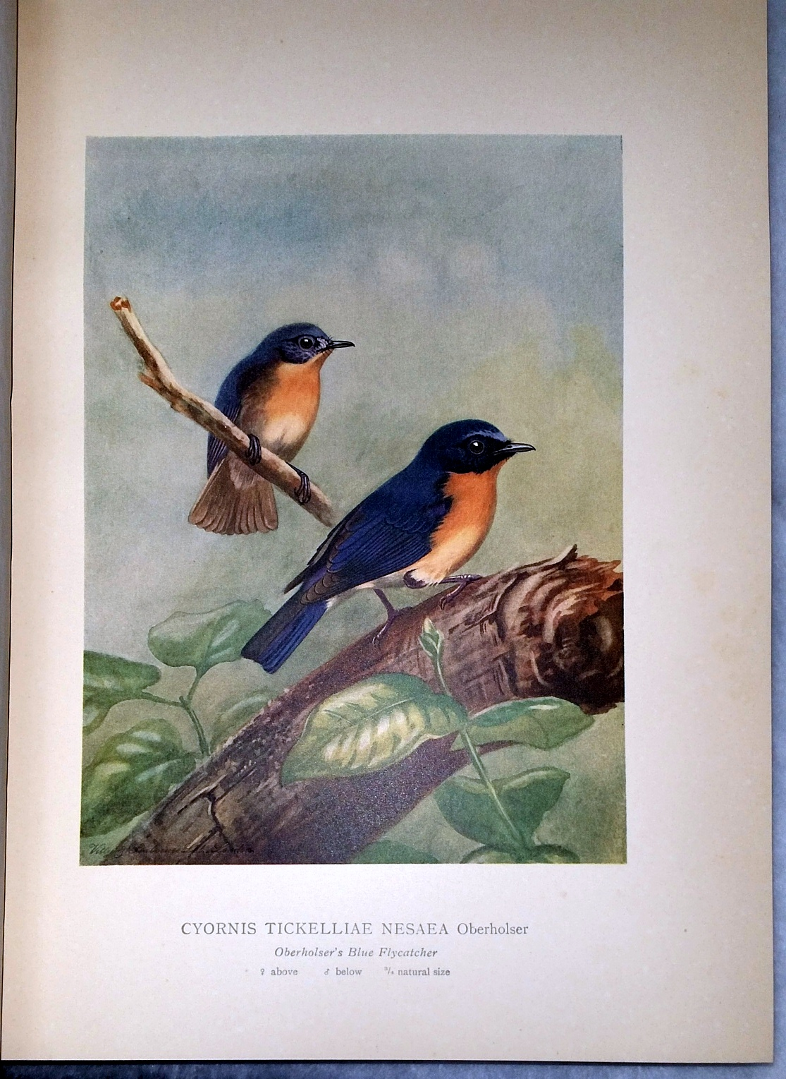 Image for Coloured Plates of the Birds of Ceylon (Four Parts, in One Volume)